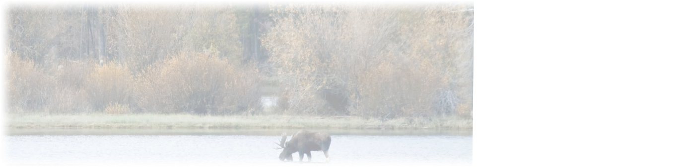 NH Moose in water